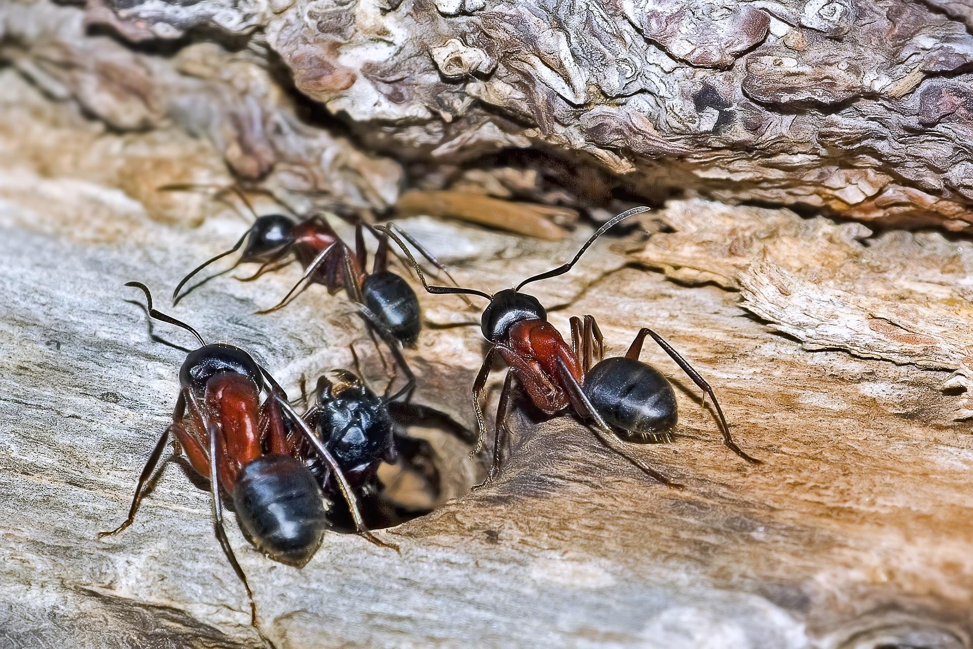 8 ants-5842405_1920